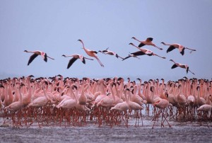 Flamingo dance2 - Nakuru