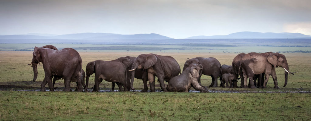 Protecting African elephants