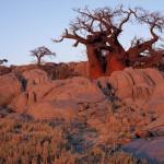 Baobab2 - Kubu